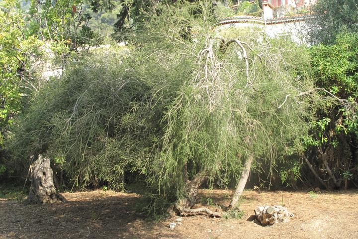 Tea-tree-articolo